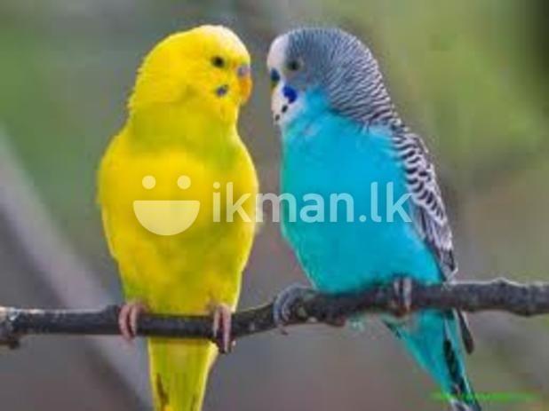 Love Birds Budgies Blue Parakeet Parakeet