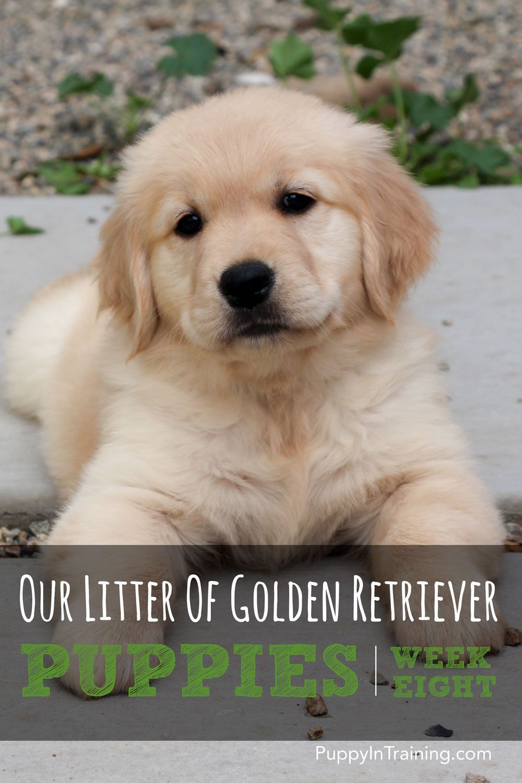 Our Litter Of Golden Retriever Pups Week 8 With Images Golden Retriever Puppies Labrador Retriever