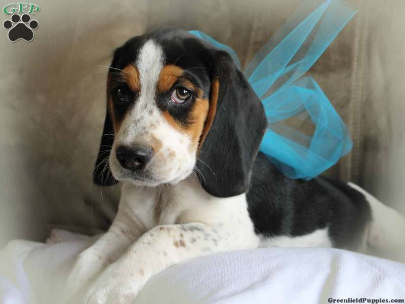 Little King Beagle Puppy For Sale From Mohawk Ny Beagle Puppy