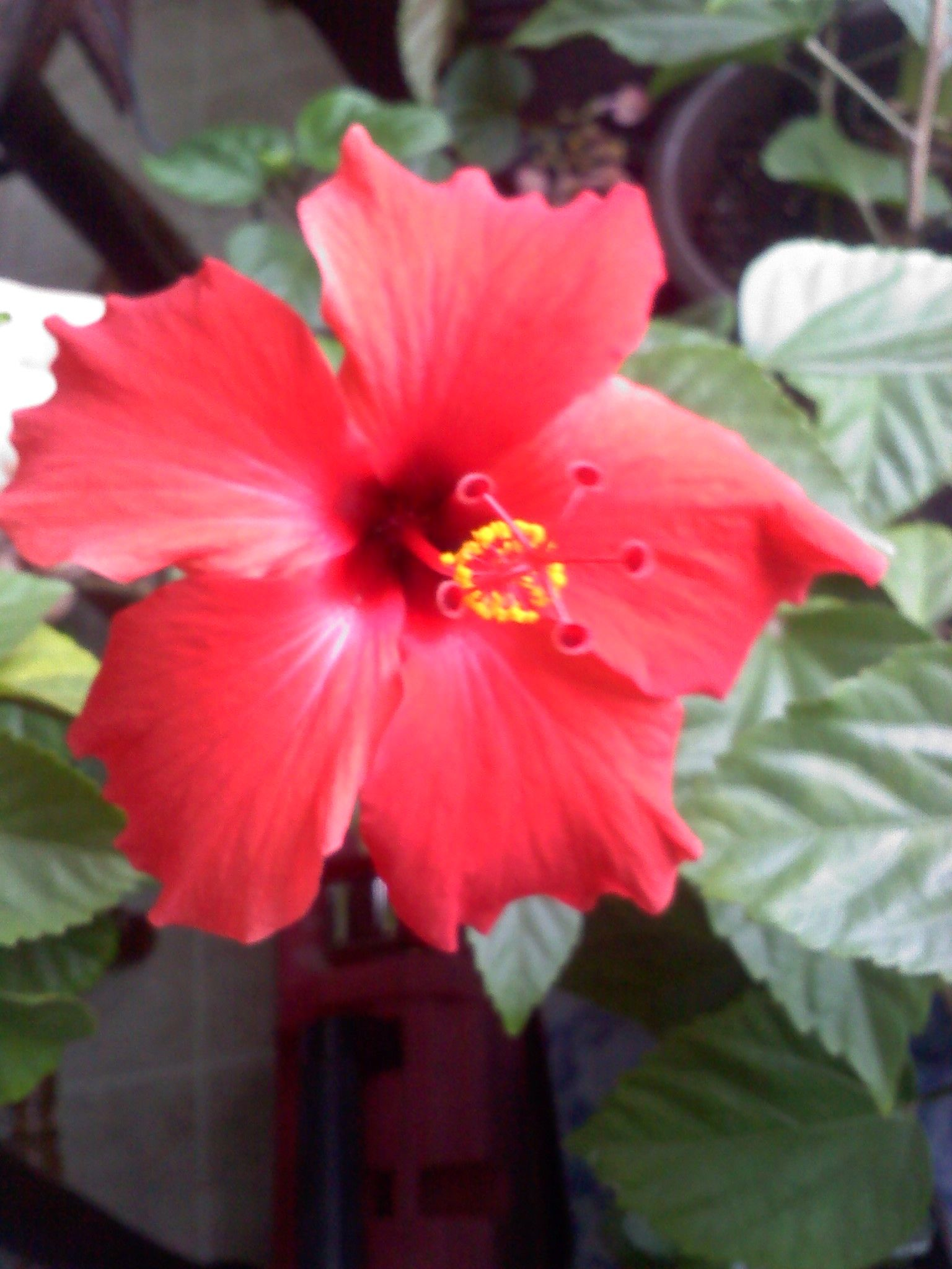 Red Hibiscus living in Vt | Gardening/Flowers/Containers | Pinterest