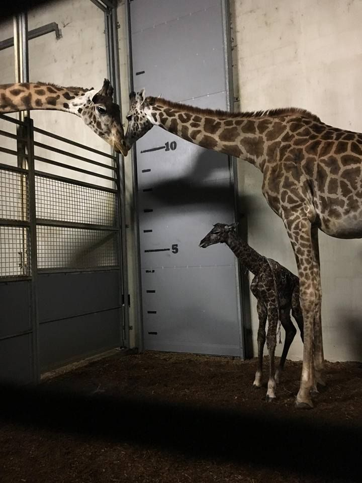 BREAKING: The baby giraffe is finally here! Autumn the giraffe gave birth to her new baby this morning, just before 6:30 AM. What an exciting day in Greenville, SC! Congratulations to Autumn, Walter, and everyone at the Greenville Zoo! // yeahTHATgreenville