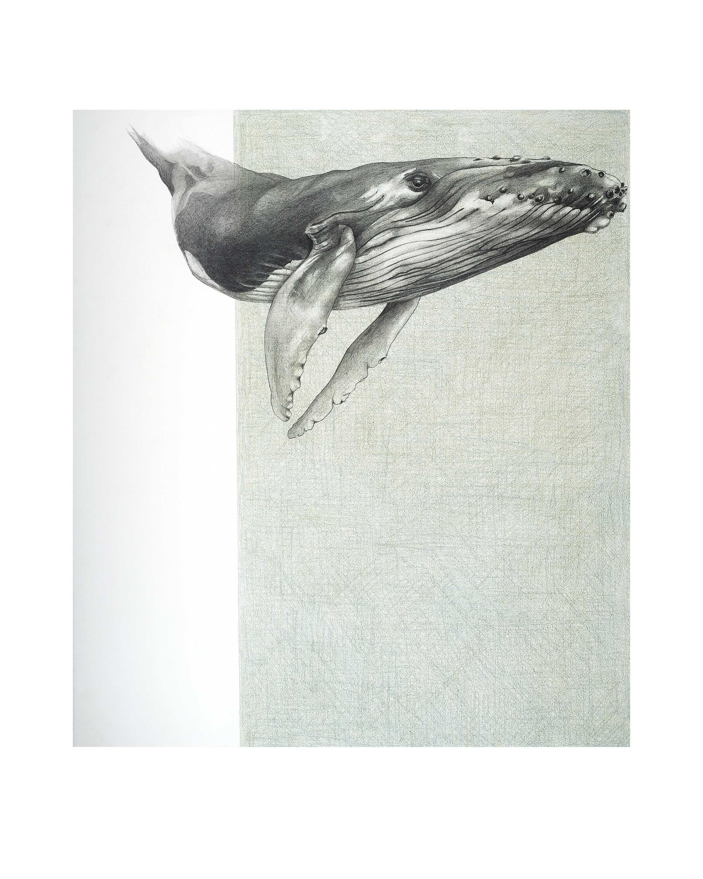"""Humpback Whale 1 £40.00 Fine Art Print of a drawing by Rebecca Clark  From the original: 'Whale 3' (2016) by Rebecca Clark. Graphite and coloured pencil on paper.   Print size - 10x8""""   Finished size - 12x10""""  Printed on Fine Art Hahnemuhle German Etching paper, a 100% TCF (Totally Chlorine Free), age resistant, traditional fine art paper with a smooth finish and fine textured surface.   The print is suppled mounted and sealed in a presentation bag."""