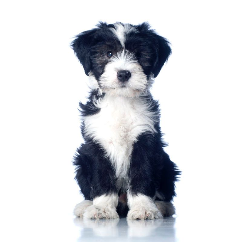 Cute Black And White Tibetan Terrier Puppy Pitbull Terrier Tibetan Terrier Terrier Mix Dogs
