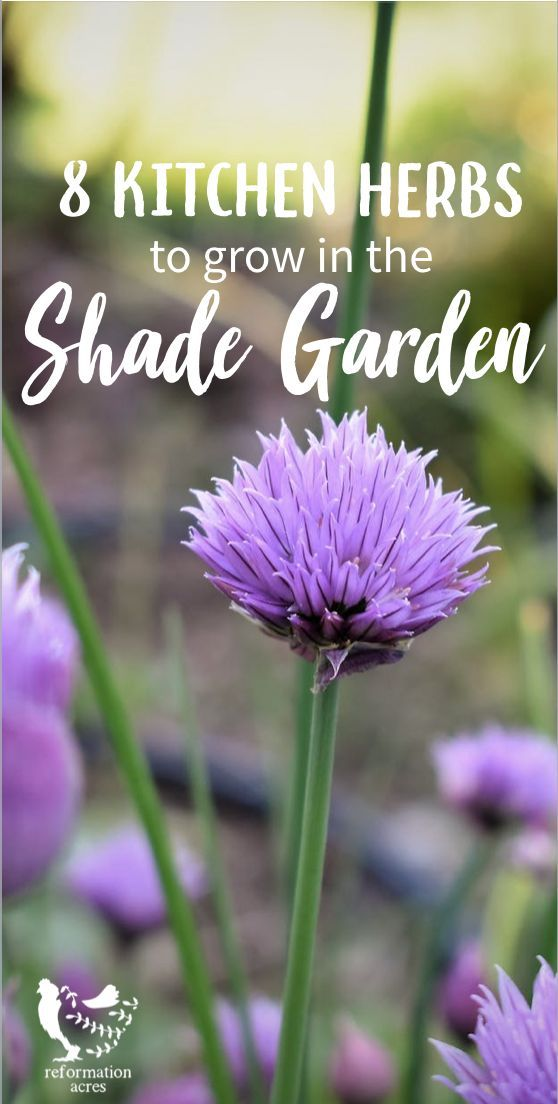 8 Culinary Herbs for the Shade Garden is part of Shade garden Herbs - The best spot for a kitchen herb garden is near the kitchen  What if it's in the shade  Here are 8 culinary, shadetolerant herbs for the shade garden!