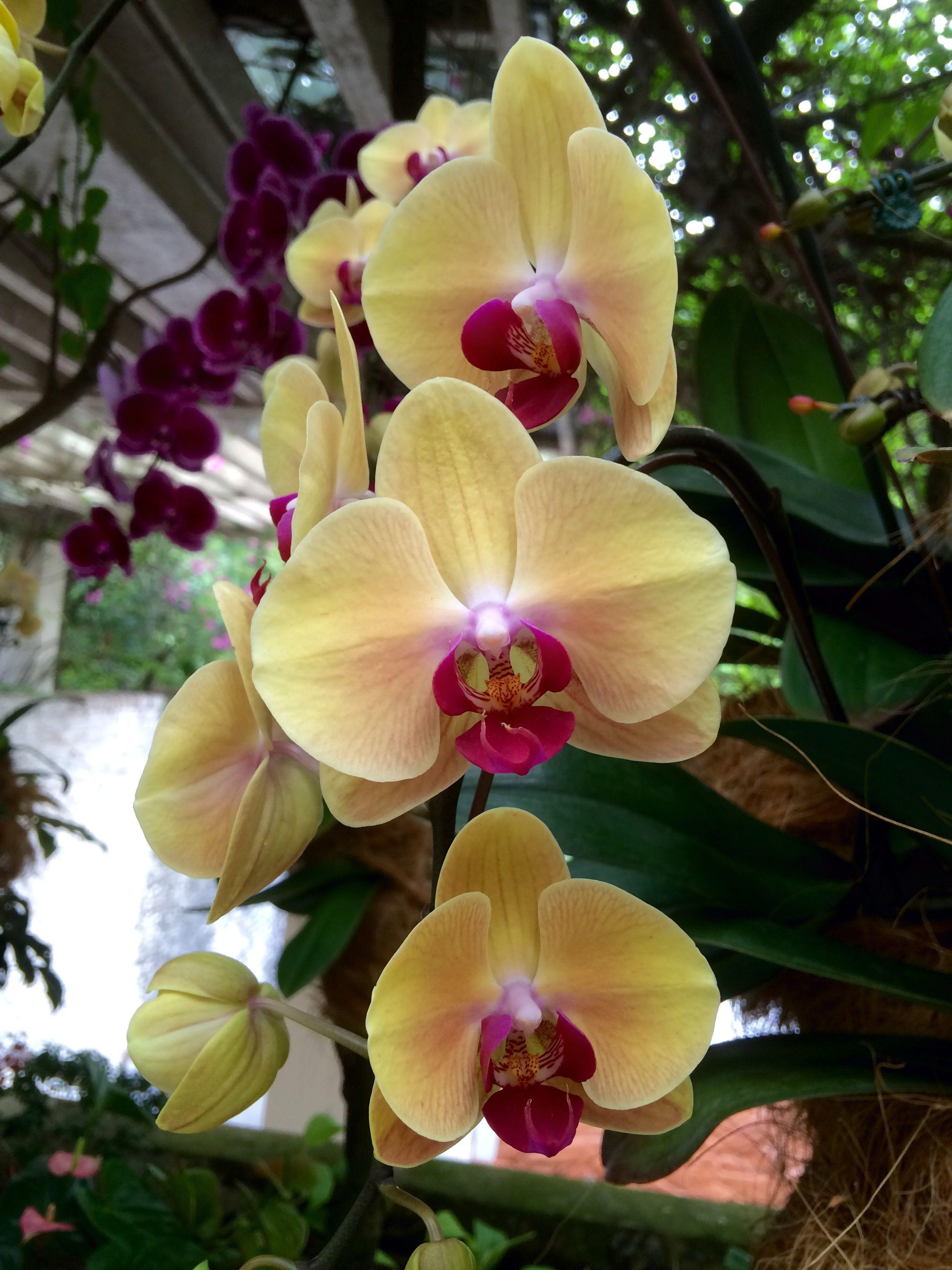 Dendrobium Eastern Vigor Orchirds Singapore botanic