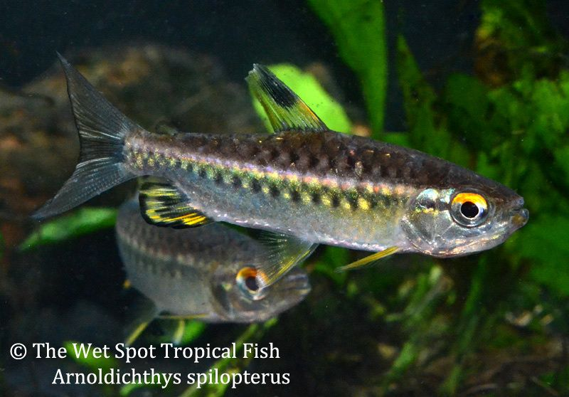 Tetras African Red Eye Tetra Arnoldichthys Spilopterus Aquarium Fish Cool Fish Fish Pet