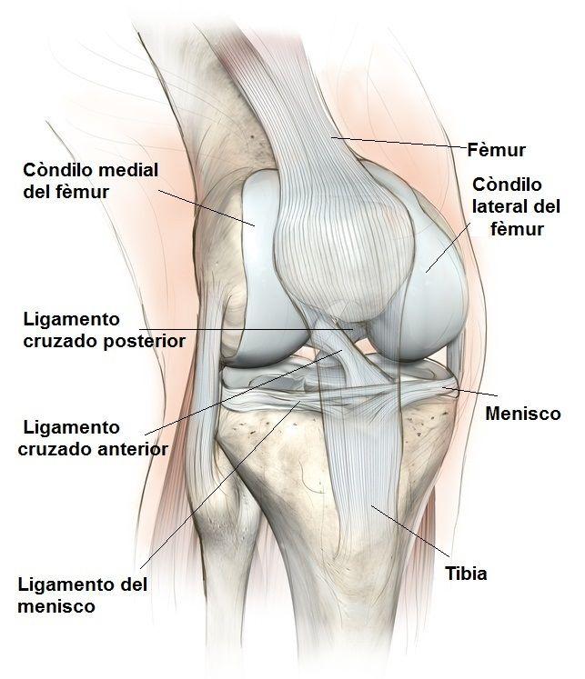 anatomía rodilla, cruzada, colaterales, meniscos, huesos y tendones ...