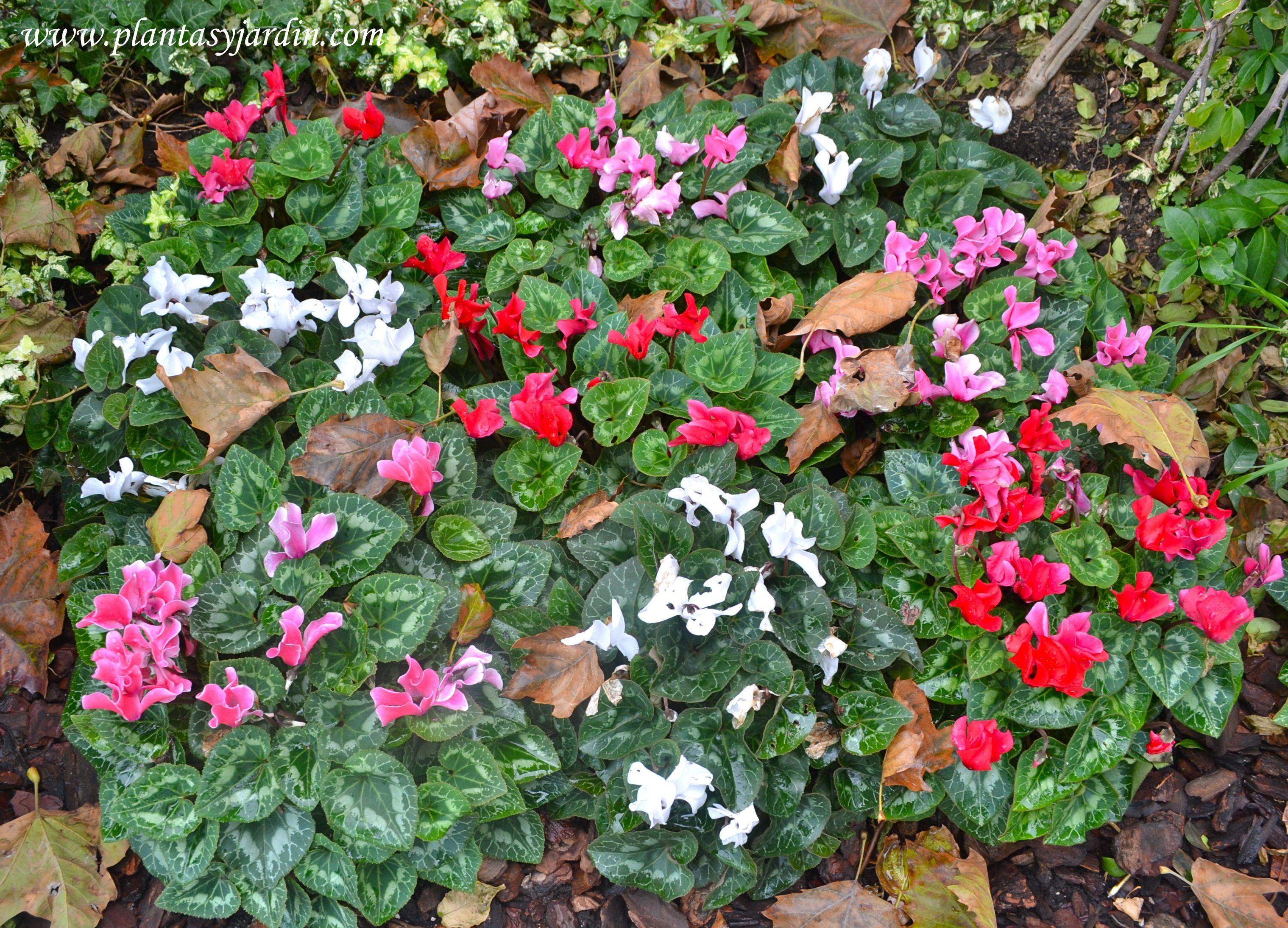 Cyclamen persicum perenne que se cultiva como de for Planta perenne en maceta de invierno