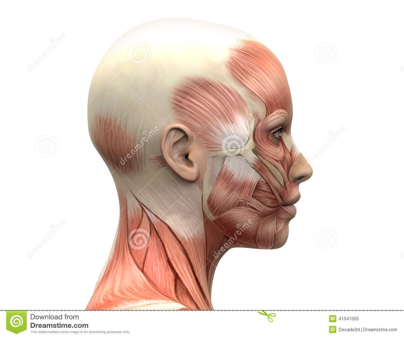 Female head muscles anatomy side view stock illustration image picture of female head muscles anatomy side view stock photo images and stock photography pooptronica