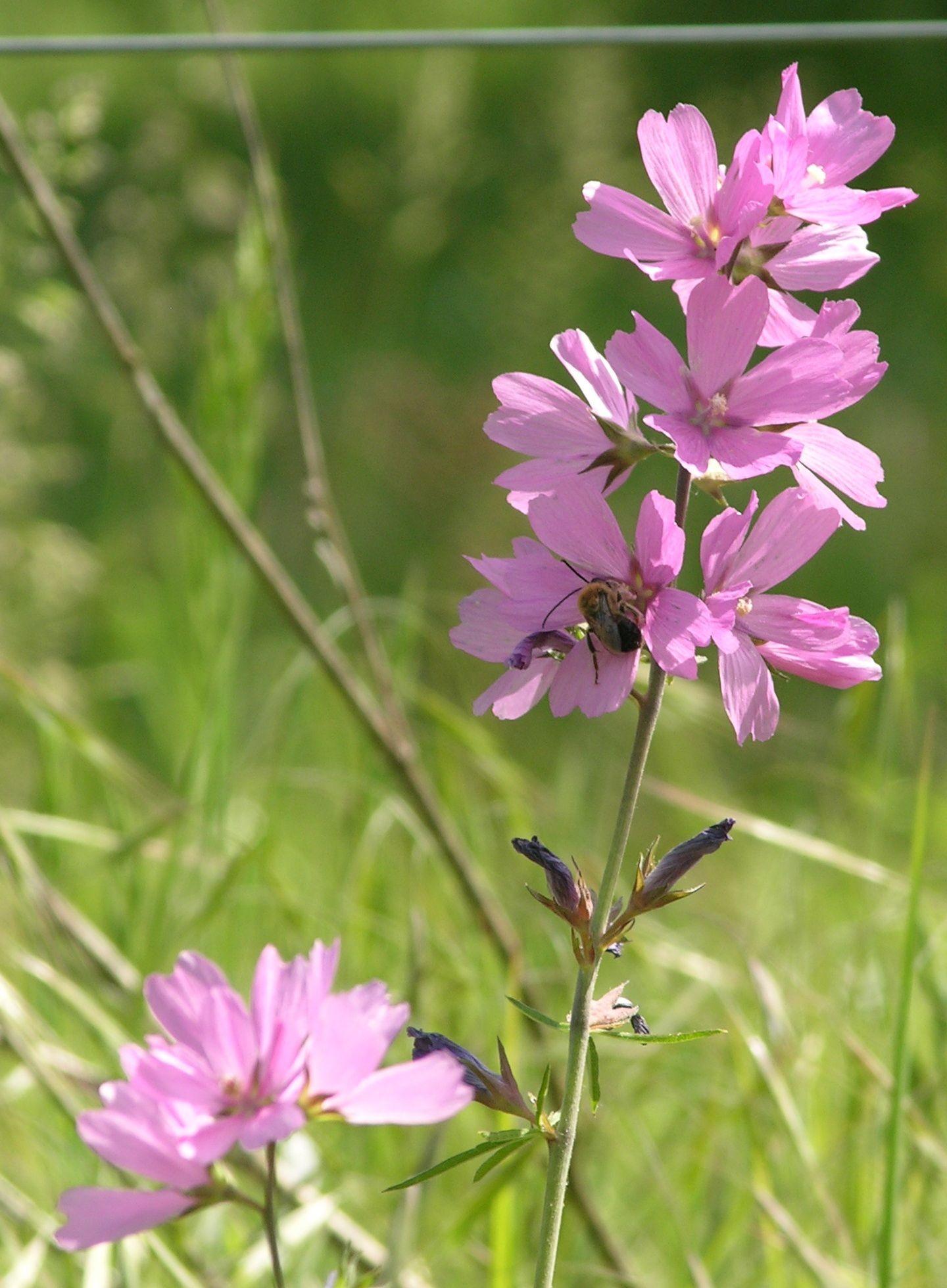 The Wild Garden: Hansen's Northwest Native Plant Database