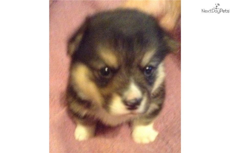 Welsh Corgi Pembroke Puppy For Sale Near Dallas Fort Worth