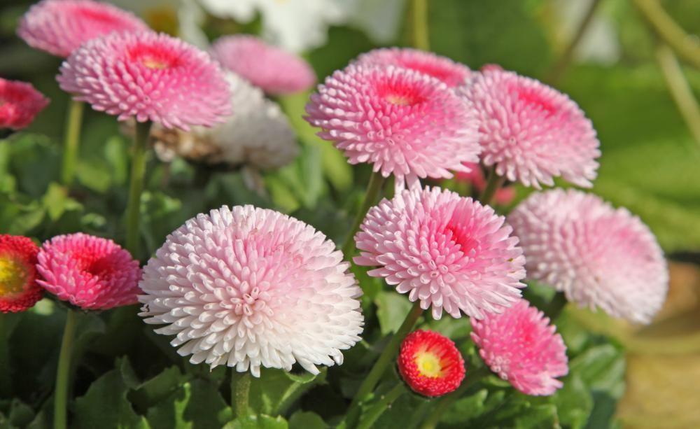 Bellis Tausendschone Blutenkugeln Pflanzen Blumen Stauden Blutendes Herz