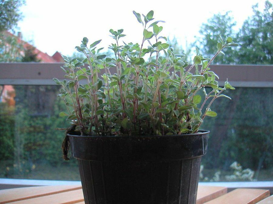 Plantas arom ticas empleadas en la cocina or gano diy haz tu propio huerto jard n dentro o - Plantas aromaticas jardin ...