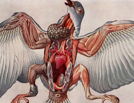 1910 rare dove anatomy print morphology of pigeon dissection rh pinterest com Pigeon Dissection Lab Pigeon Dissection Labeled