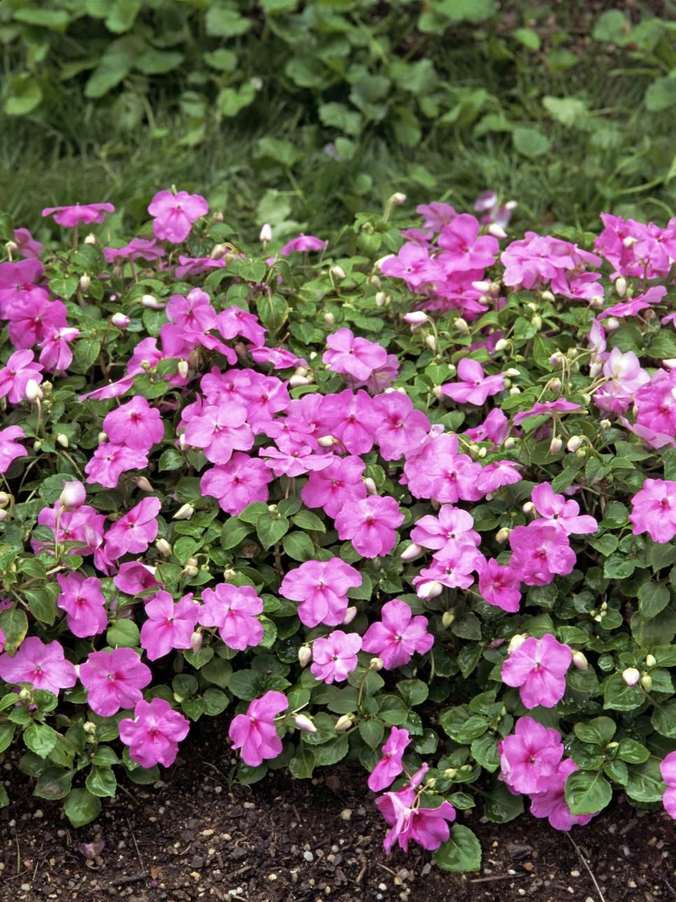 Annual flowers for shade gardens shade annuals pinterest from begonias to impatiens see which annual flowers thrive in shady spots plus get planting and growing information from the experts at hgtv gardens izmirmasajfo