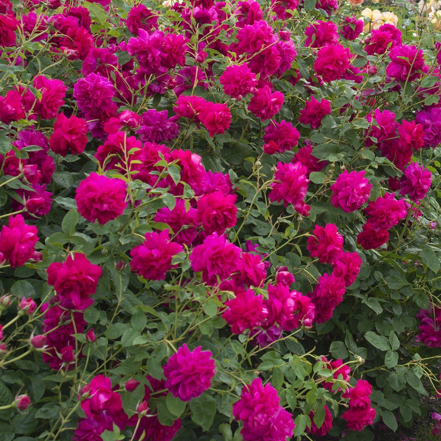 Rosa Thomas à Becket® Auswinston Rose anglaise David