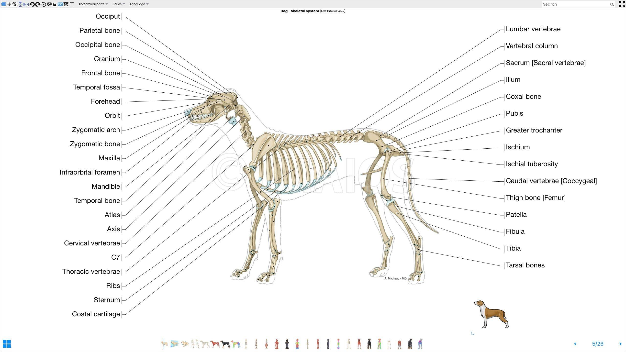 Labeled Atlas Of Anatomy Illustrations Of The Dog Bones