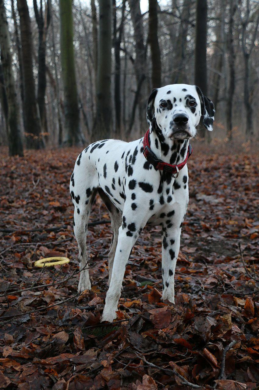 Dalmatian Lika Love This Doggie Dalmatiner Hunde