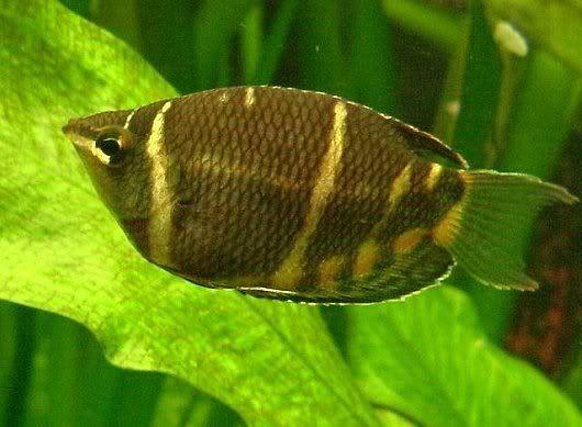 Chicolate Gourami Freshwater Fish Species Profiles Kaskus The Largest Indonesian Community Ikan Akuarium Ikan Air Tawar Ikan
