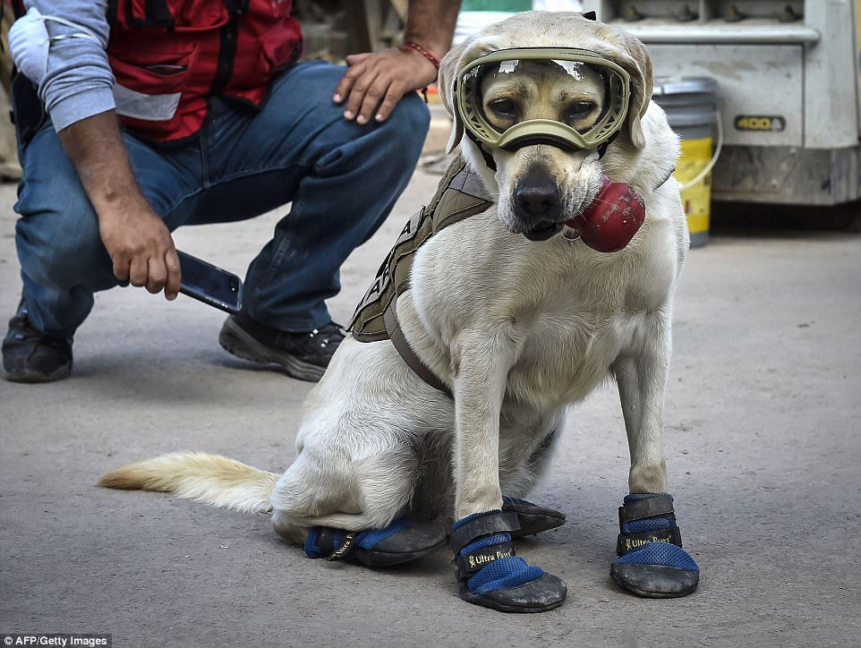 Frida The Rescue Dog Emerges As Hero Of Mexican Earthquake Dog Help Military Dogs Rescue Dogs