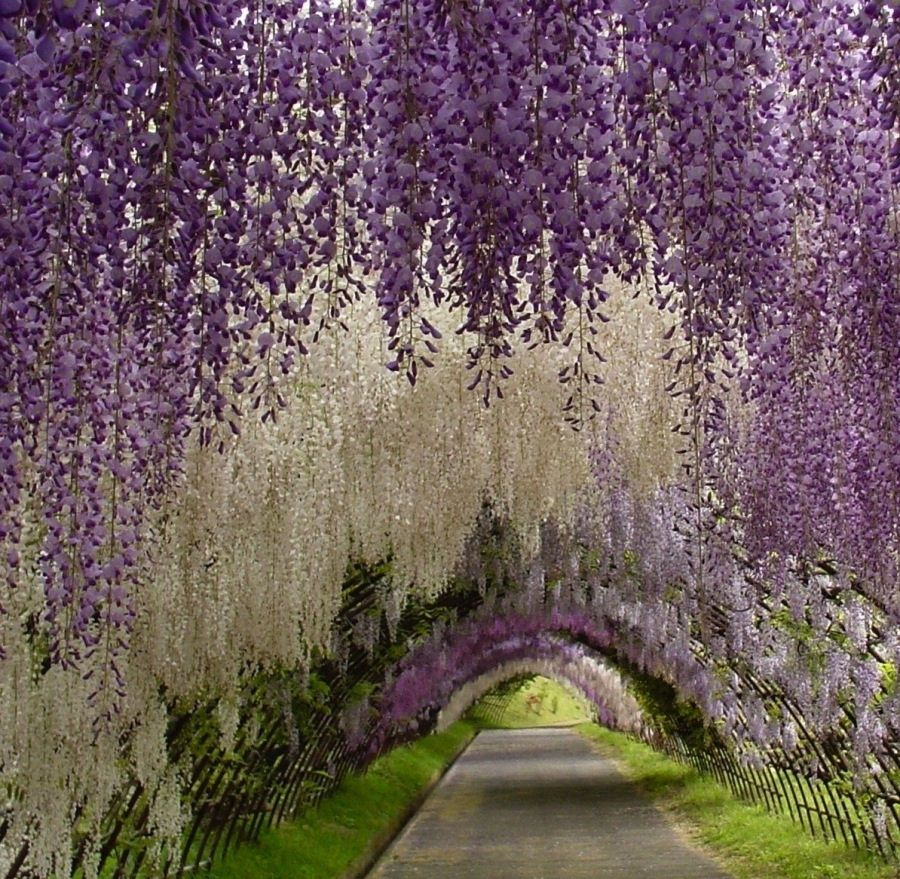 Wisteria canopy! #beautiful #gardening