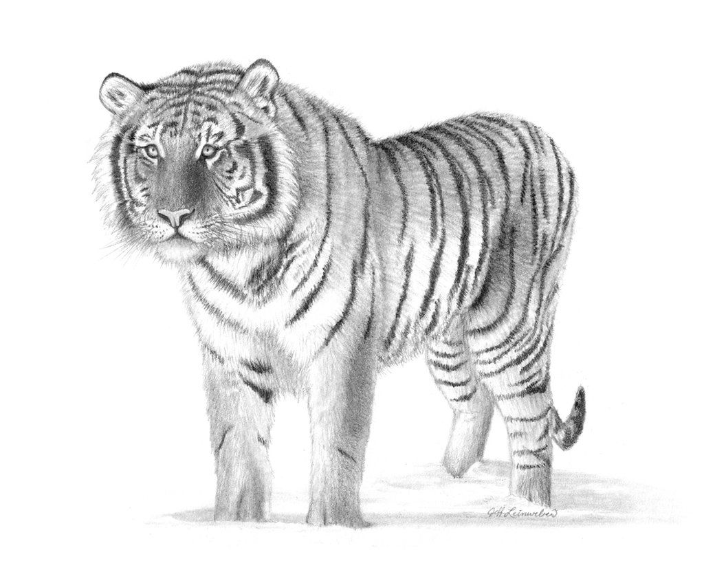 drawn artistic tiger pictures tiger drawing by badbats
