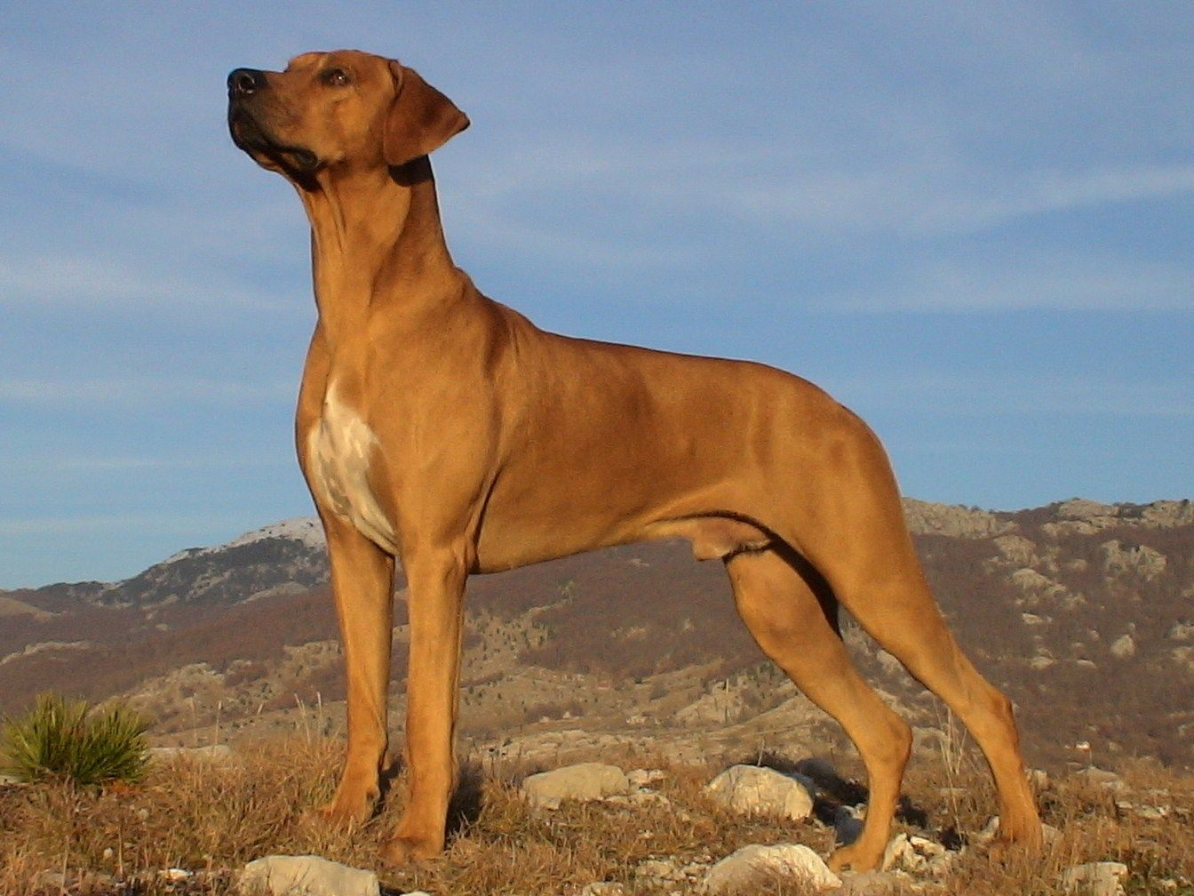 Rhodesian Ridgeback Pose Background Photo Large Dog Breeds Rhodesian Ridgeback Dog Breeds
