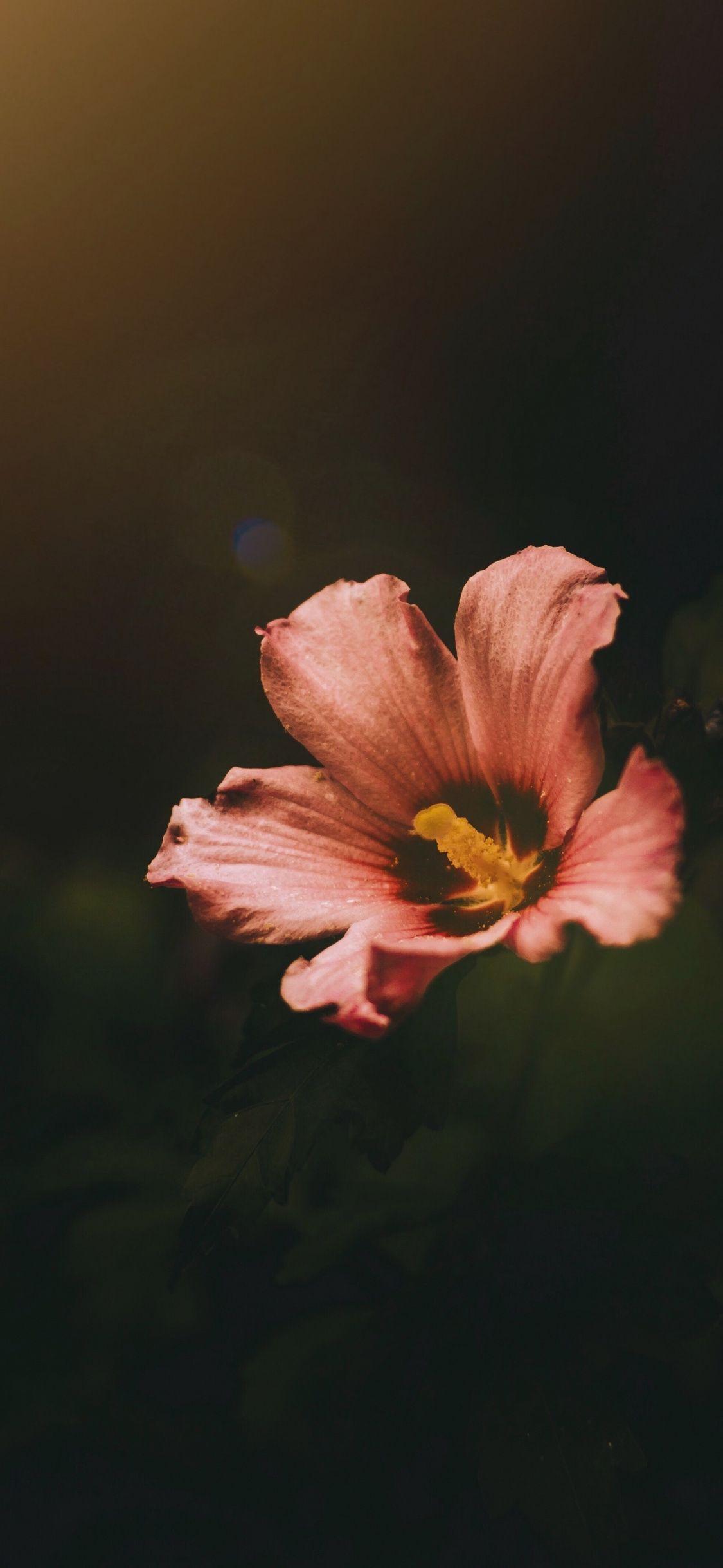 Light Pink Hibiscus Flower Bloom Dark Wallpaper Flower Iphone Wallpaper Flower Phone Wallpaper