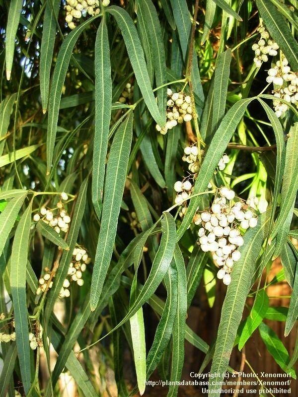 Fruit Of Australian Willow Wilga Geijera Parviflora Australian Plants Australian Native Plants Xeriscape