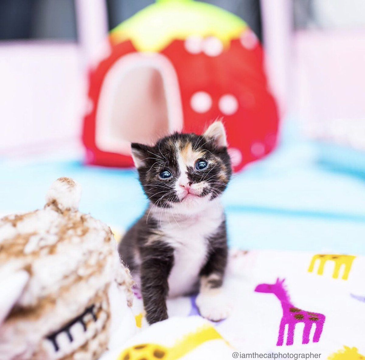 Lana Miller On Twitter Kitten Pictures Kittens Cutest Kittens