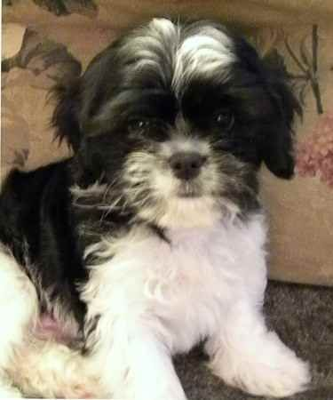 The Lhasalier Lhasa Apso Cavalier King Charles Spaniel This Is