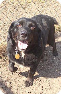 Detroit Lakes Mn Cocker Spaniel Mix Meet Lily A Dog For Adoption Http Www Adoptapet Com Pet 11494751 Detroit Lakes Cocker Spaniel Mix Pets Dog Adoption