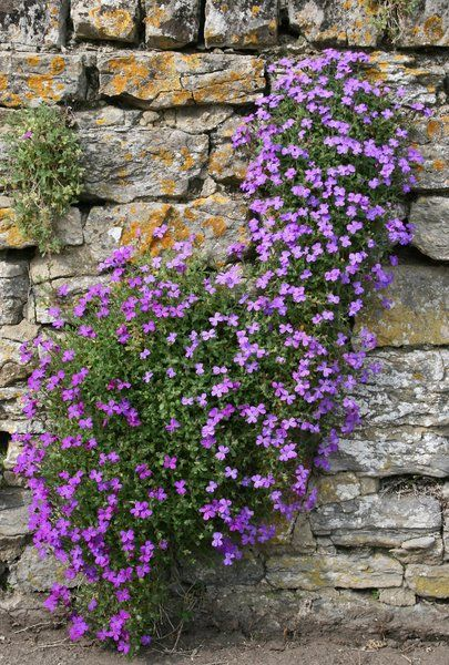Aubretia Growing On An Old Stone Wall In Somerset England
