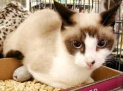 Adopt Victoria On Petfinder Ragdoll Cat Pet Finder Cats And Kittens
