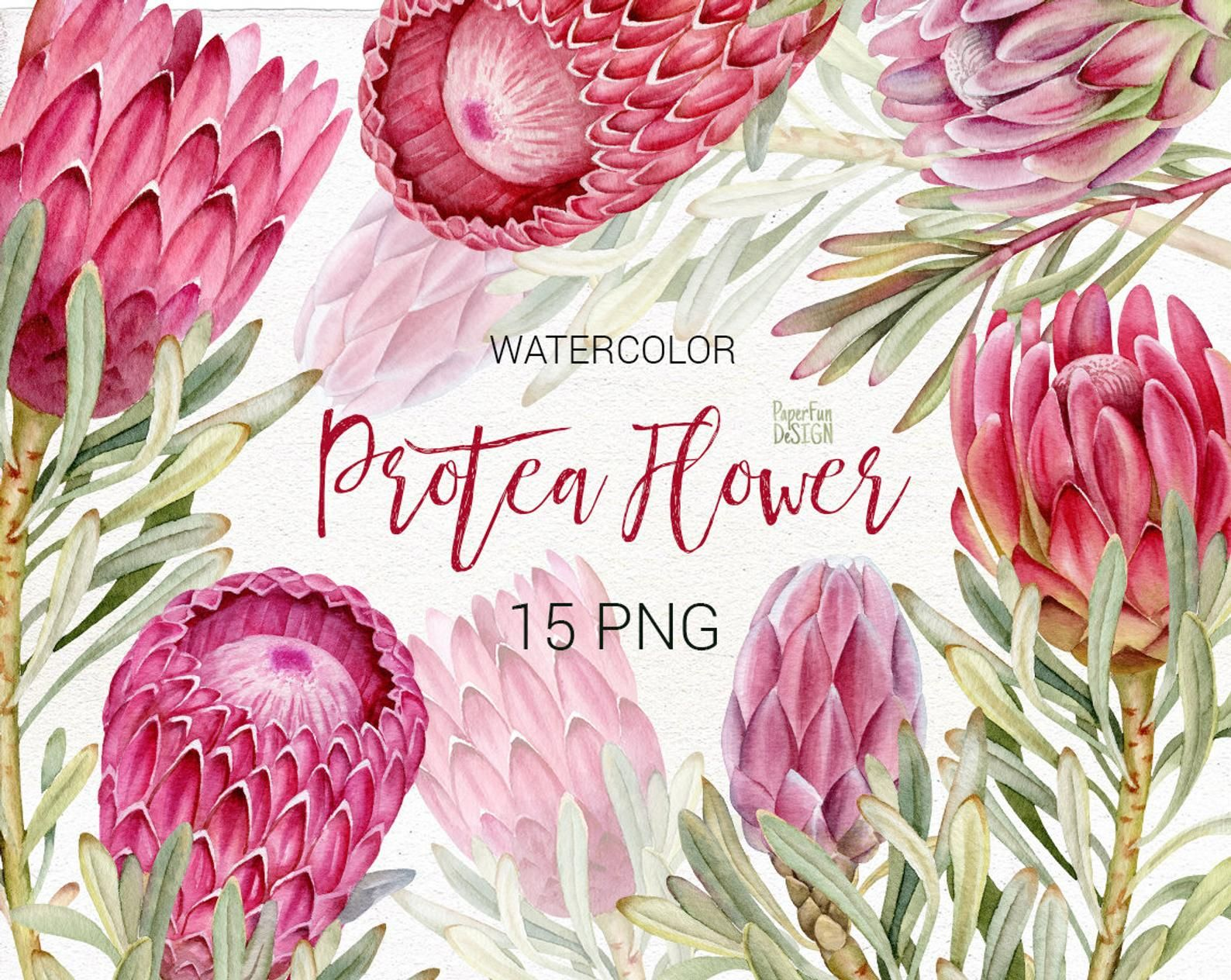 Wedding Watercolor Protea Clip Art Pink Tropical Flowers Png Commercial Use Instant Download Watercolor Flower Illustration Clip Art Protea Art