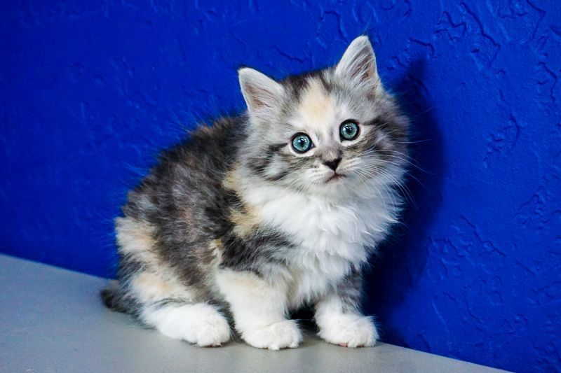 silver maine coon kittens for sale near me