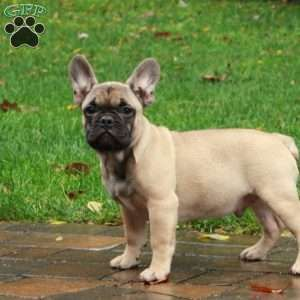 Marcus French Bulldog Puppy For Sale in Pennsylvania