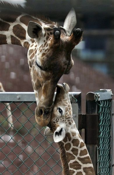 Mother and Child reunion. I have replicas of these in my kitchen window. The giraffes are crafted from leather. I found the momma @ goodwill and the baby @TJmaxx