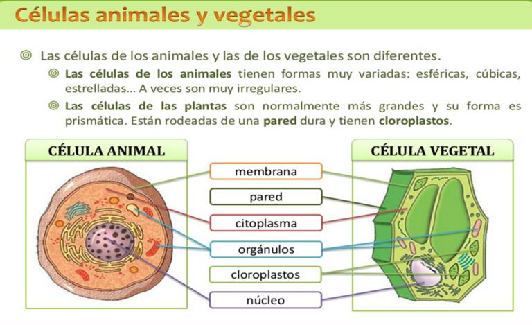Cuadros Comparativos Entre Célula Animal Y Vegetal Para Descargar E Imprimir Cuadro Comparativo Célula Animal Animales Vegetales Clases De Celulas