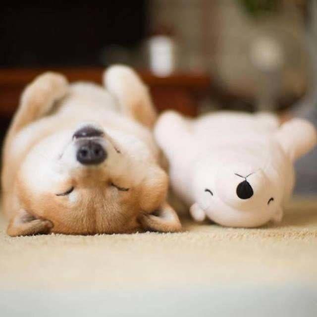 รวมภาพท าทางส ดน าร ก ท เห นแล วต องเอ นด ของเจ าหมา Cute Animals Shiba Inu Cute Puppies