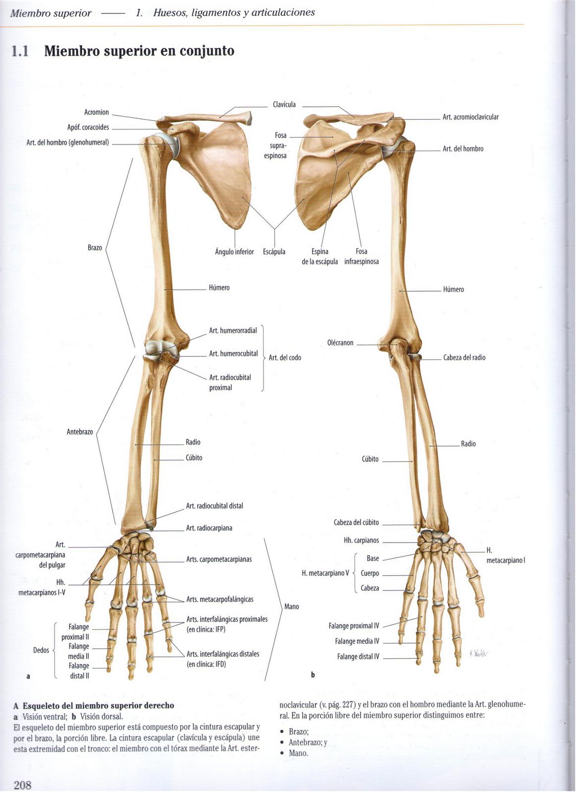 Vistoso Articulaciones De La Anatomía Pulgar Cresta - Anatomía de ...