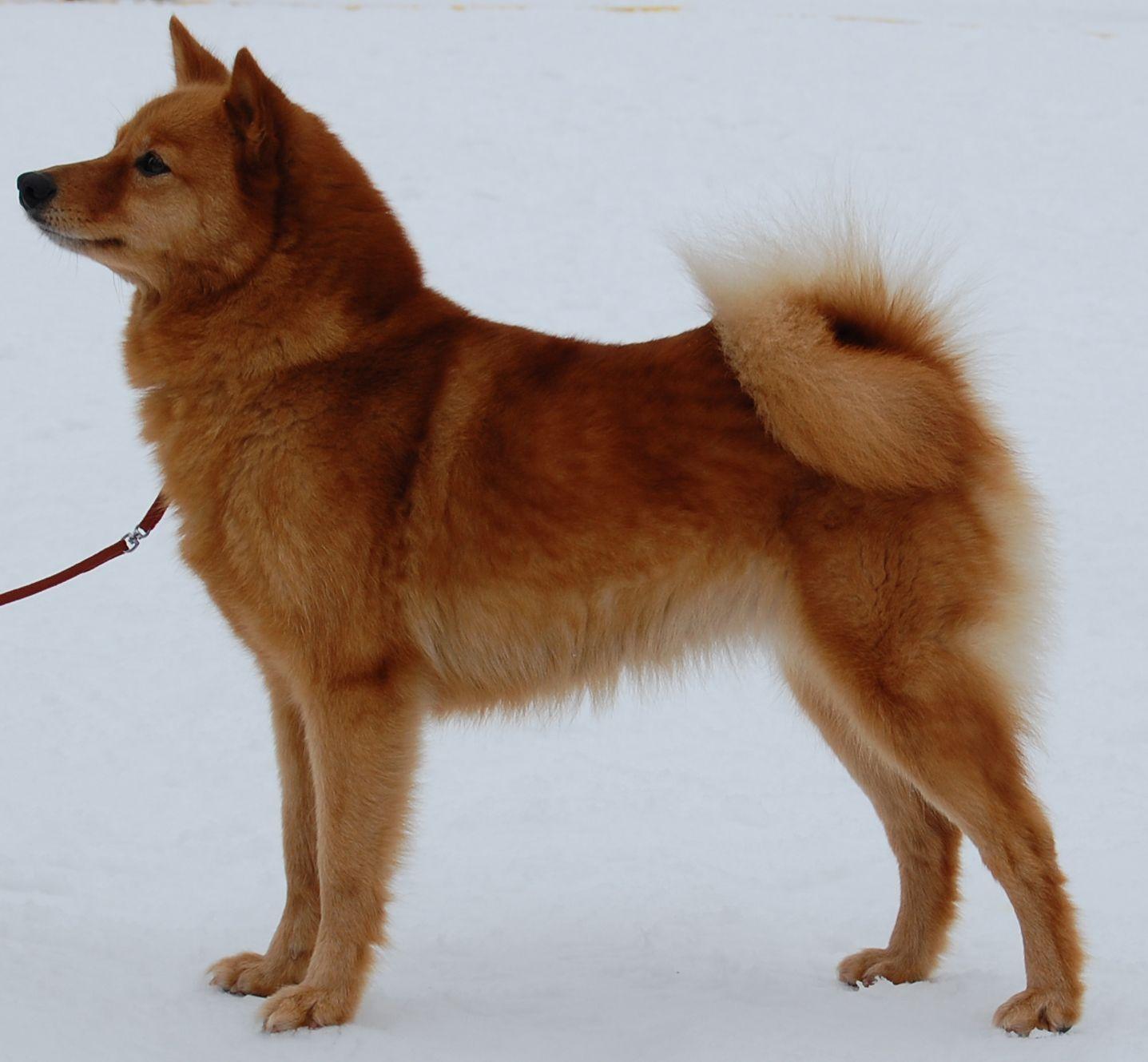 Pin By Pirjo Oittinen On Dog Finnish Spitz Spitz Dogs Swedish Vallhund