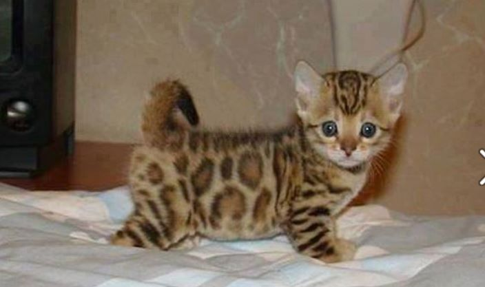 Bengal cats are hypoallergenic, shed less than regular