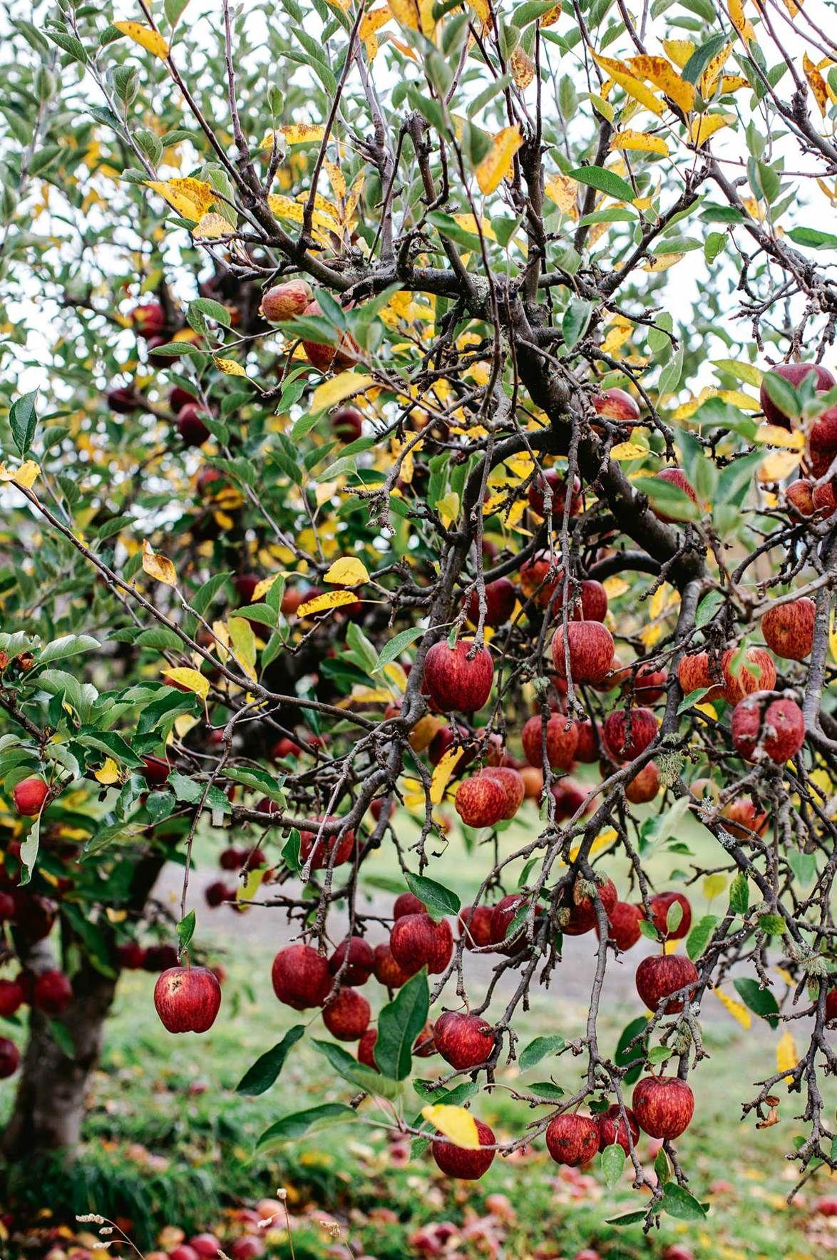 Red Farmhouse In Glen Huon Home To Ceramicist Couple Apple Tree Apple Garden Edible Garden