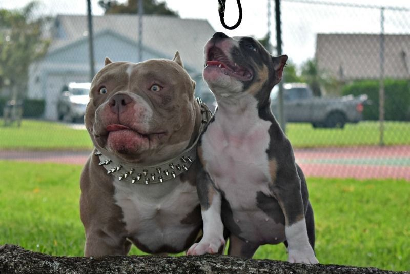 Pin By Pete On American Bully American Bully American Bully Kennels Bully Breeds Dogs