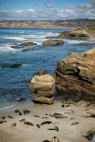 Seals At The Children S Pool In La Jolla California