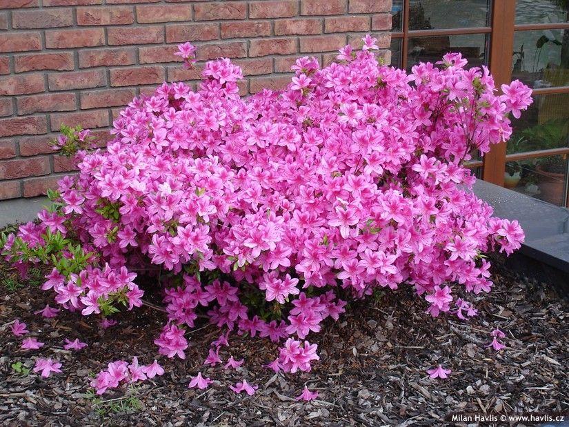 Azalea Japonica Purple Splendor Havlis Cz Azaleas Planting Flowers Tree Identification