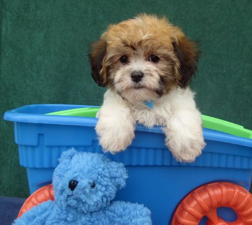Gleneden Cavachon Where Miss Sophie Is From