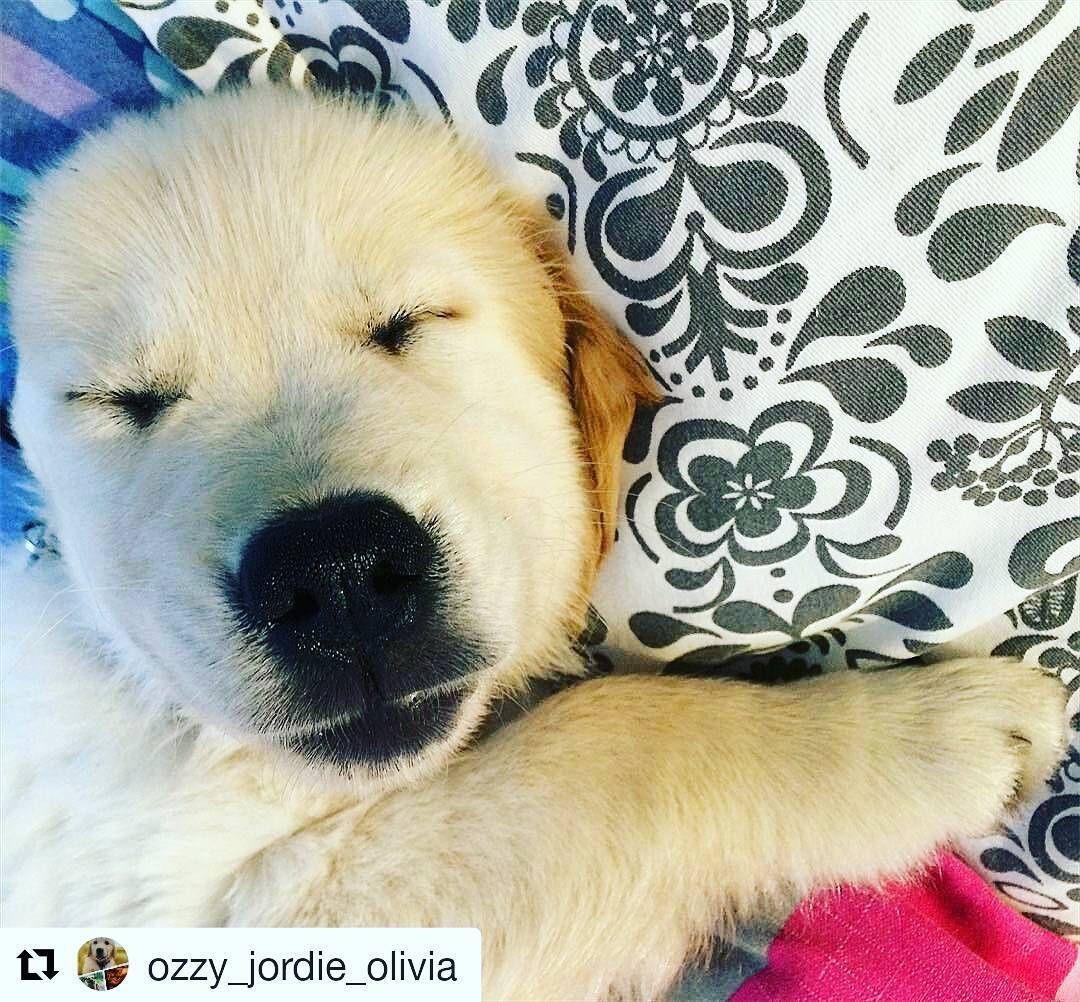 Buona domenica! Noi siamo pronti e carichi! ...per il letargo. . #Repost @ozzy_jordie_olivia with @repostapp  Che sonno dopo tutte le marachelle combinate stanotte!!  #Ozzy #puppy #goldenretriever #instadog  #doglover  #lablove #labrador #retriever #lazysunday #sunday  #sleep #insta_dog #love #milano #italia #cani #mood #dog #pet #cane #dogs #photography #cute #vsco #beautiful #amazing
