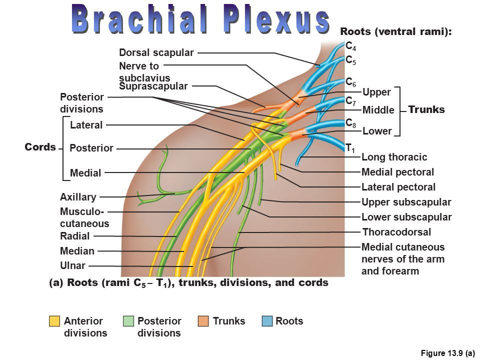 Image result for c4 dorsal root ganglion | Medical | Pinterest ...